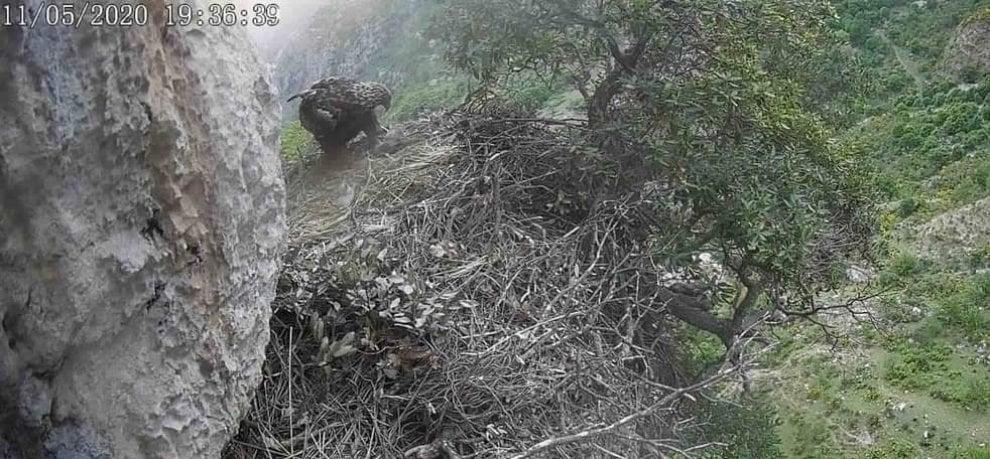Nuovo arrivo nel Parco dei Nebrodi: è nato un aquilotto reale